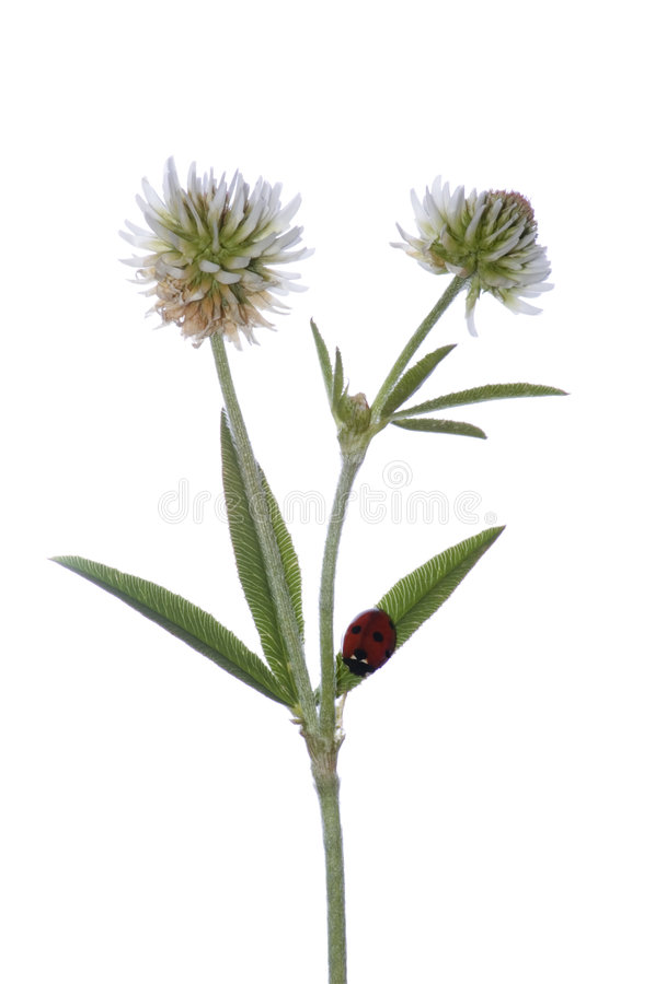 Flores do trevo fotografia de stock