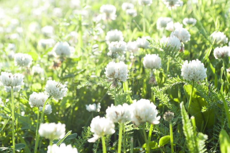 Flores do trevo branco em um prado imagens de stock