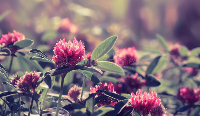 Flores do trevo no campo Imagem tonificada roxa imagens de stock royalty free
