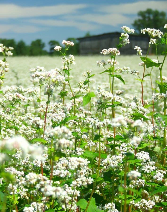 Flores do trigo mourisco imagens de stock royalty free