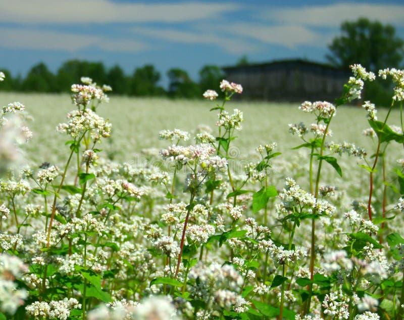 Flores do trigo mourisco fotos de stock