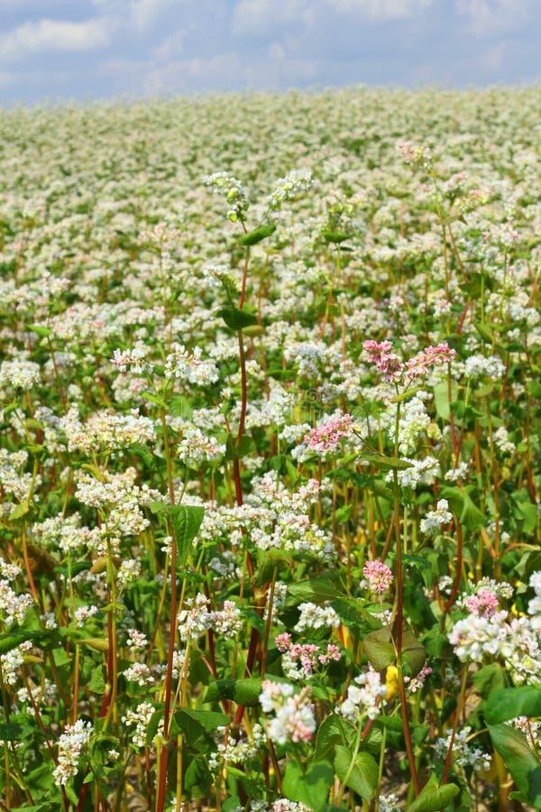 Flores do trigo mourisco imagem de stock