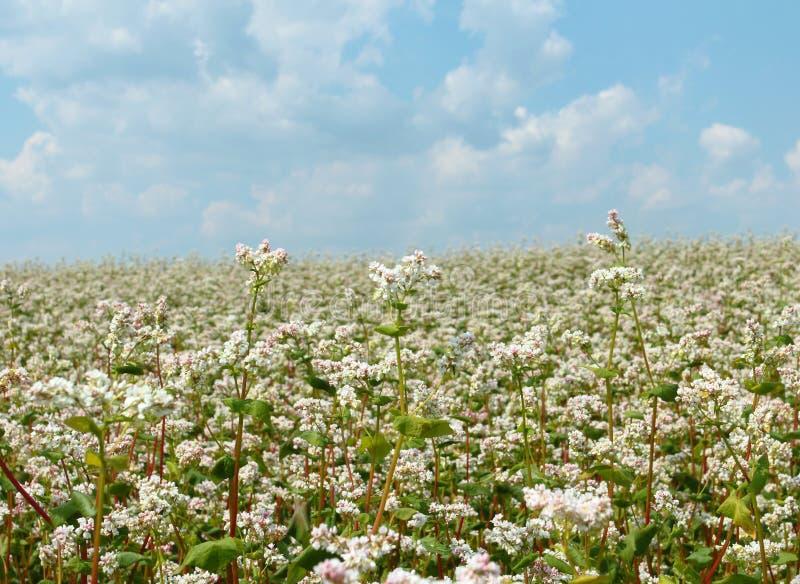 Flores do trigo mourisco imagens de stock