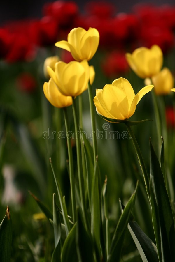 Flores do Tulip imagem de stock royalty free