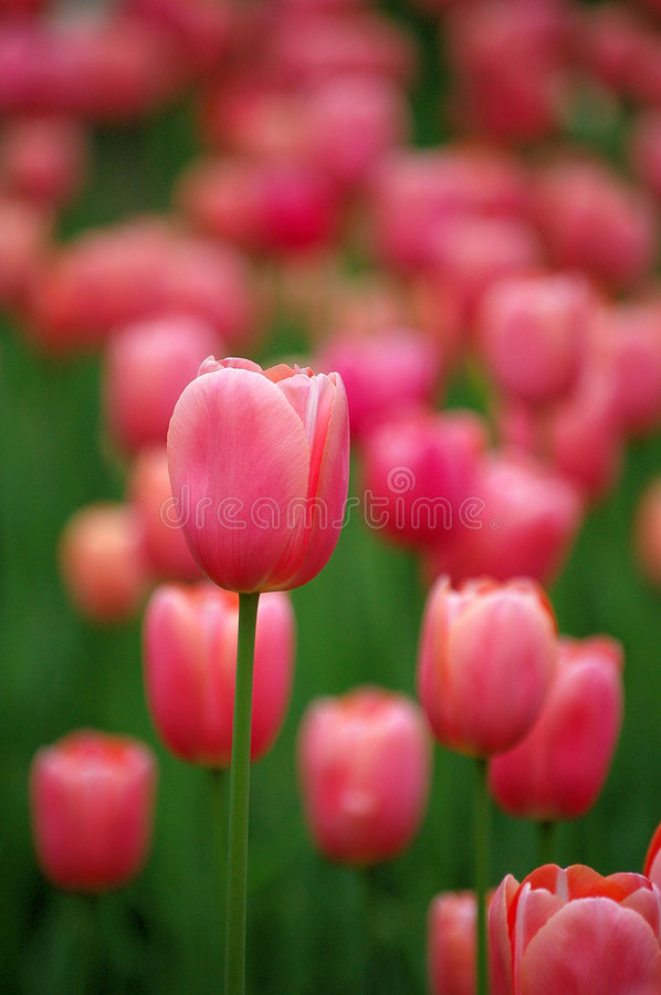 Flores do Tulip fotos de stock royalty free