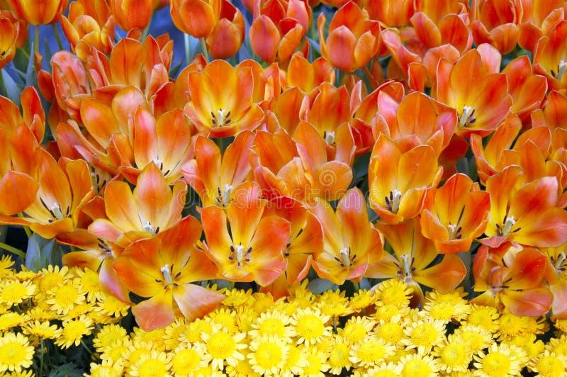 Flores do Tulip na flor fotografia de stock