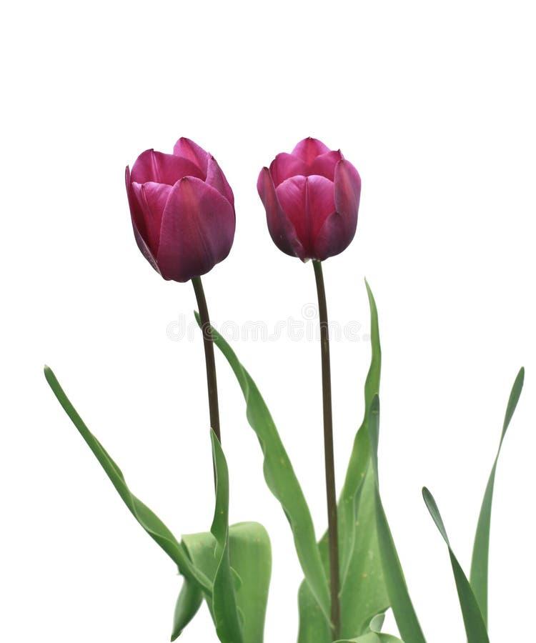 Flores do Tulip no branco imagem de stock