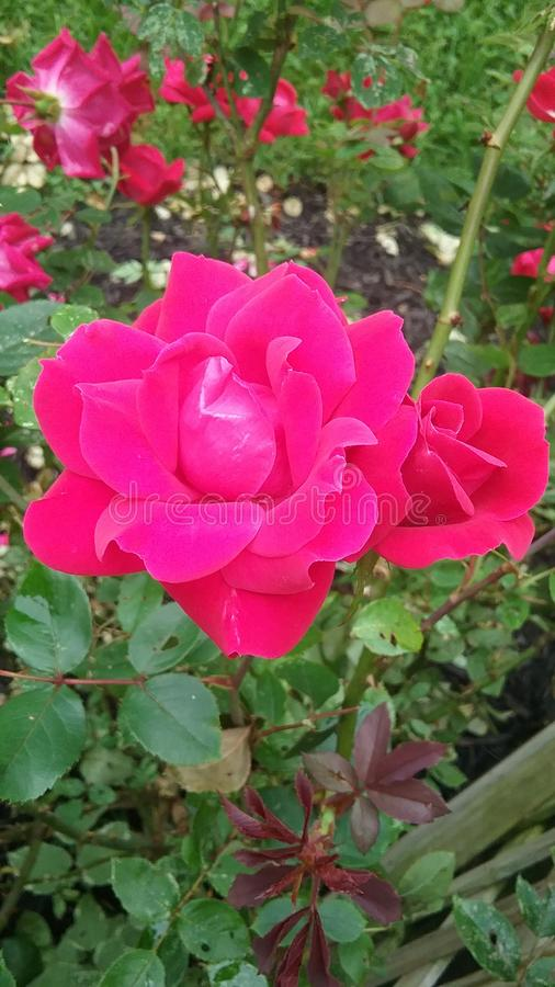 Flores do verão que chovem o dia imagem de stock