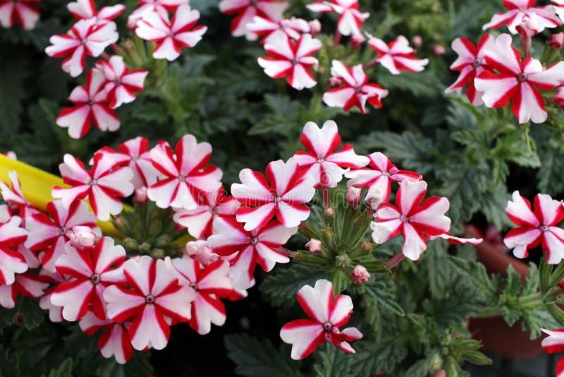 Flores do Verbena no Verbena vermelho e branco Hybrida do jardim da cor verbenas Teste padr?o floral Backg das flores da mola e d imagem de stock royalty free