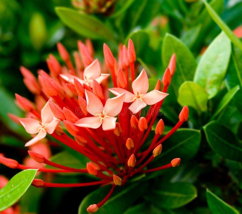 Flores do vermelho de Ixora fotos de stock