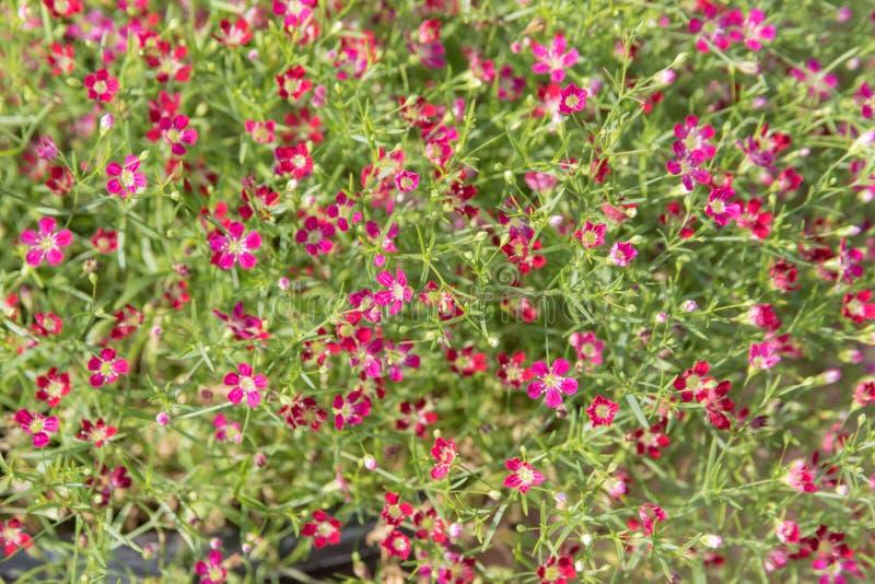 Flores do vermelho do Gypsophila imagem de stock royalty free