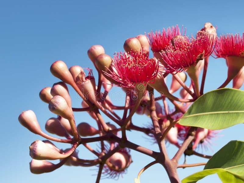 Flores do vermelho vermelho australiano do verão do eucalipto do bloodwood imagem de stock royalty free