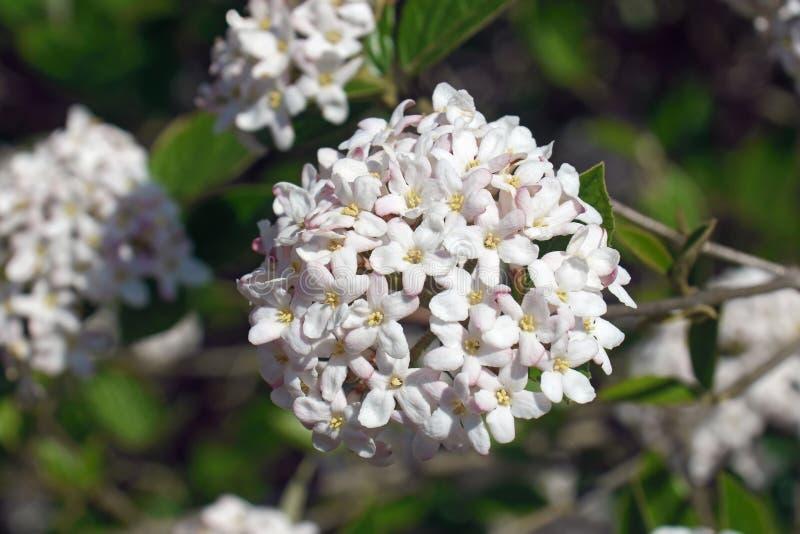 Flores do viburnum do Mohawk fotos de stock