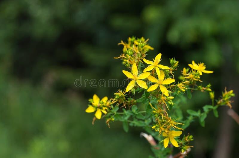 Flores do wort de St John imagens de stock