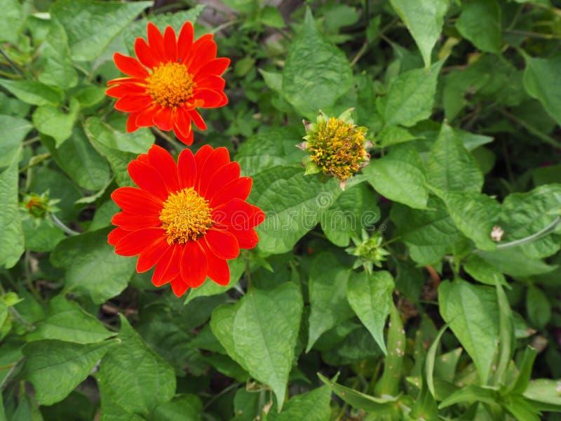 Flores do Zinnia de Narrowleaf imagem de stock