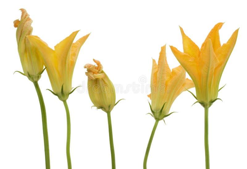 Flores do zucchini da determinada espécie de abóbora vegetal foto de stock