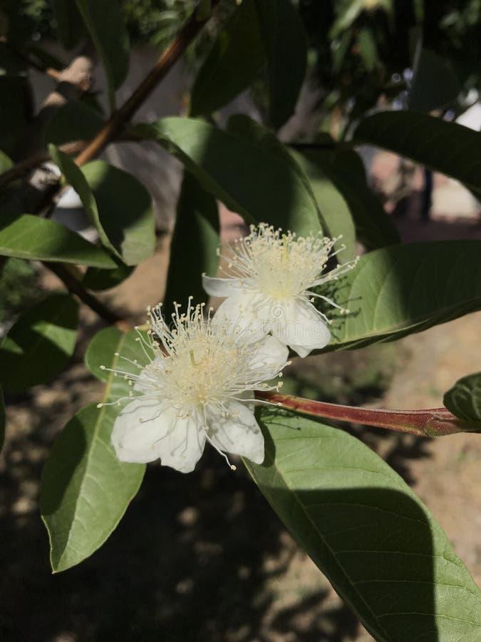 Flores dobles de la guayaba fotografía de archivo