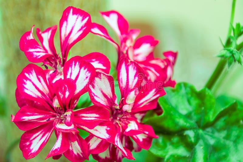 Flores dobles rojo oscuro del Pelargonium foto de archivo libre de regalías
