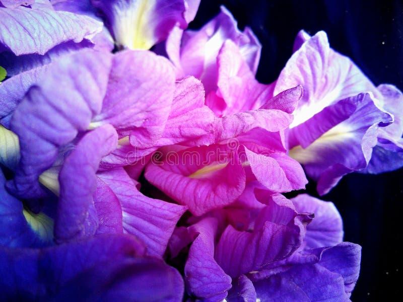 Flores doces azuis 2 das ervilhas de borboleta imagem de stock