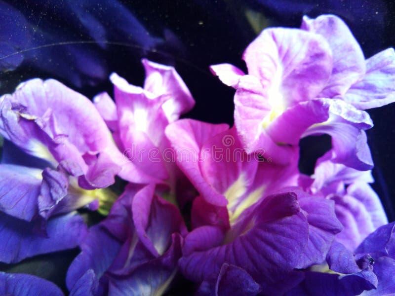 Flores doces azuis das ervilhas de borboleta imagens de stock