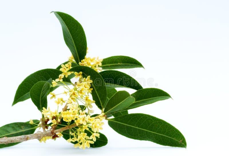 Flores doces do osmanthus imagens de stock