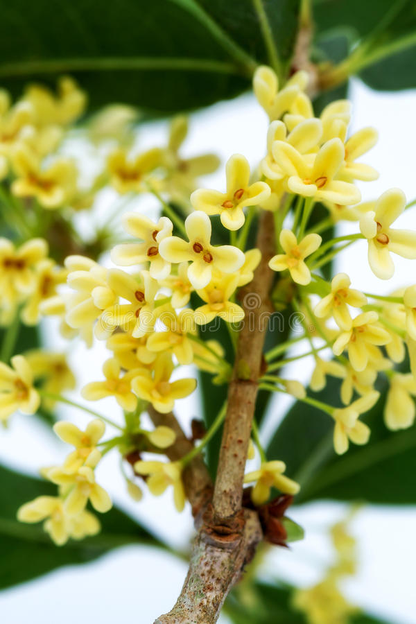 Flores doces do osmanthus foto de stock