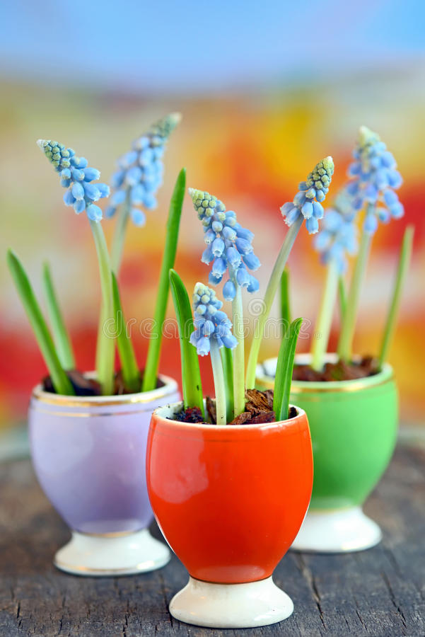 Flores dos botryoides do Muscari imagens de stock