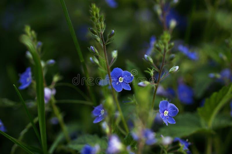 Flores dos chamaedrys do Veronica que florescem em um campo fotos de stock