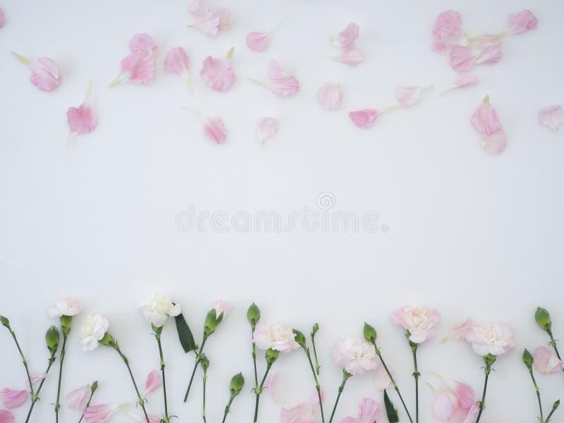 flores dos cravos em um fundo branco fotos de stock royalty free