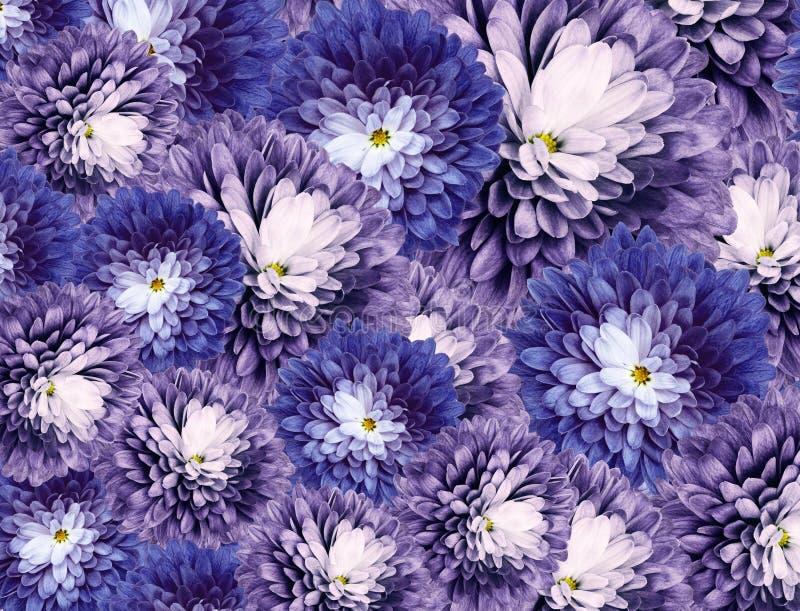 Flores dos cris?ntemos fundo roxo-azul colagem floral Composi??o da flor Close-up fotos de stock