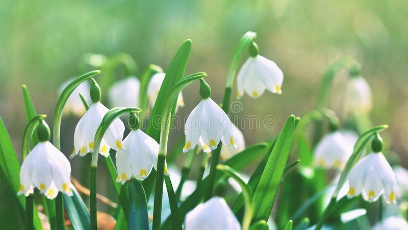 Flores dos flocos de neve da mola a florescência bonita do carpaticum do vernum do leucojum floresce na floresta com fundo colori imagem de stock royalty free
