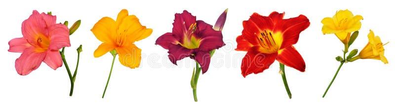 Flores dos hemerocallis (Hemerocallis), isoladas no branco fotos de stock