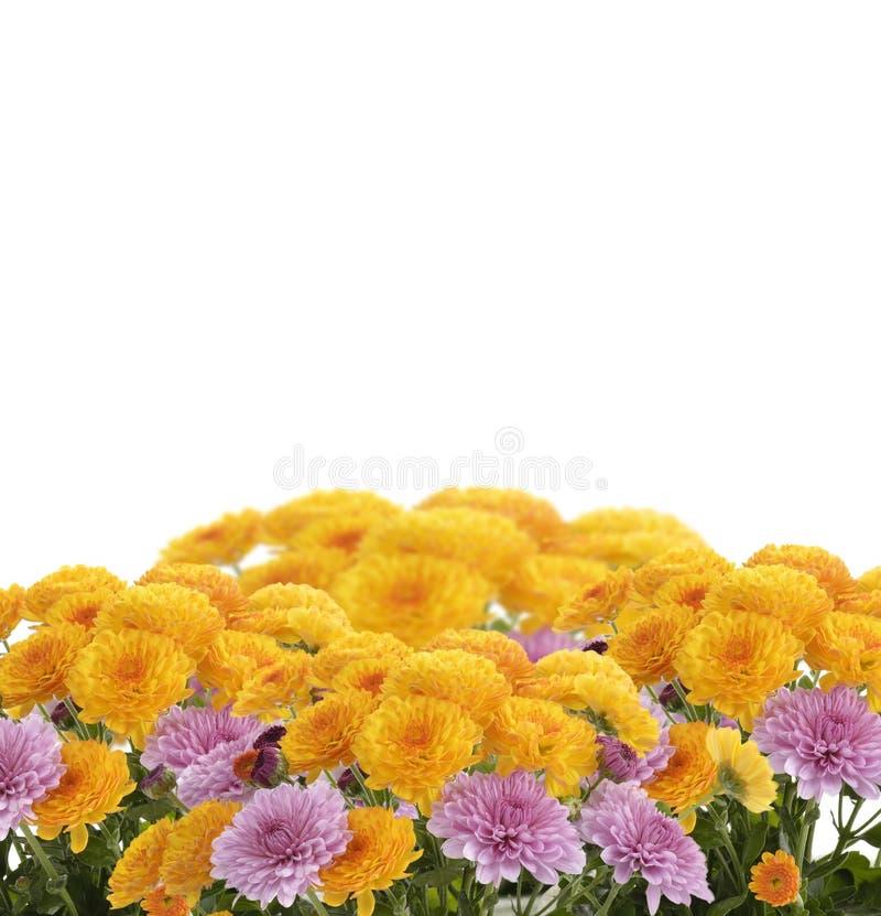 Flores dos Mums imagem de stock royalty free