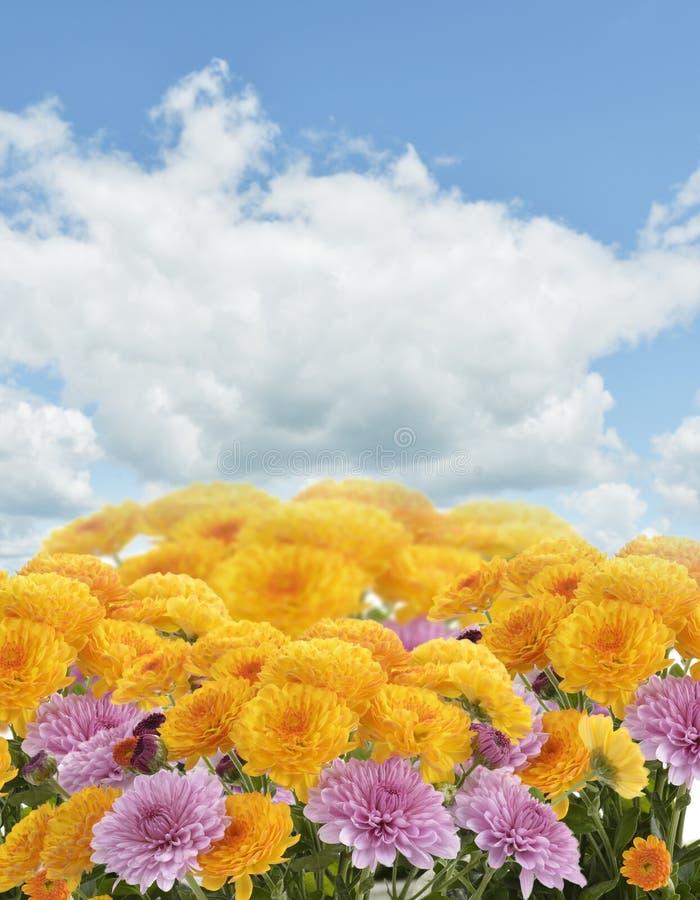 Flores dos Mums imagens de stock