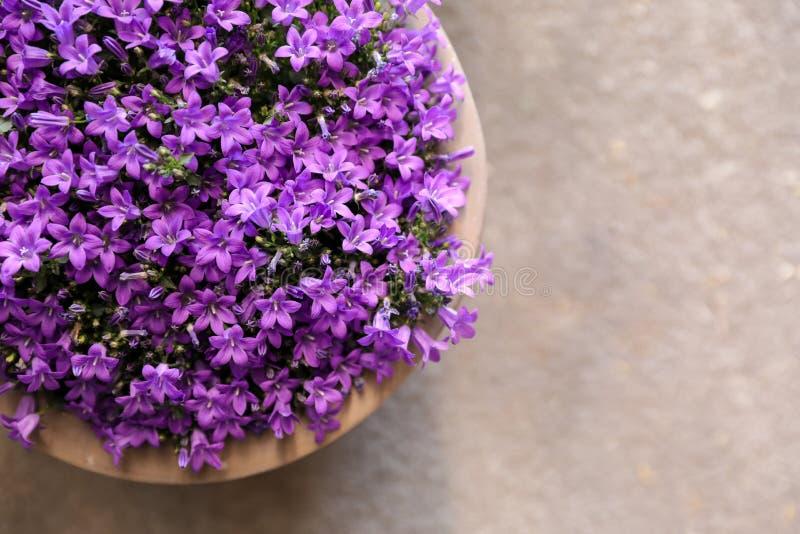 Flores dos muralis da campânula ou bellflowers violetas que crescem em um vaso de flores, vista superior fotografia de stock royalty free