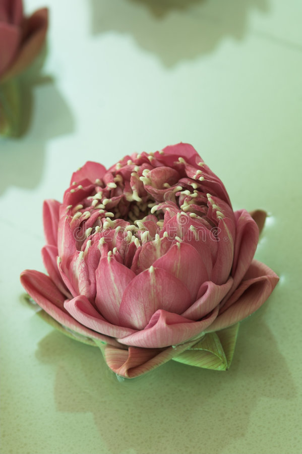 Flores dos termas fotos de stock royalty free