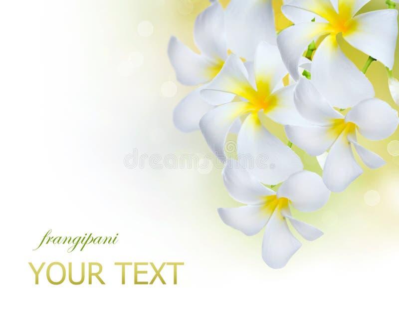 Flores dos termas do Frangipani foto de stock royalty free