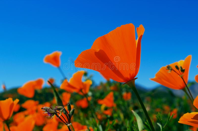 Flores douradas da papoila de Califórnia, Walker Canyon fotografia de stock royalty free