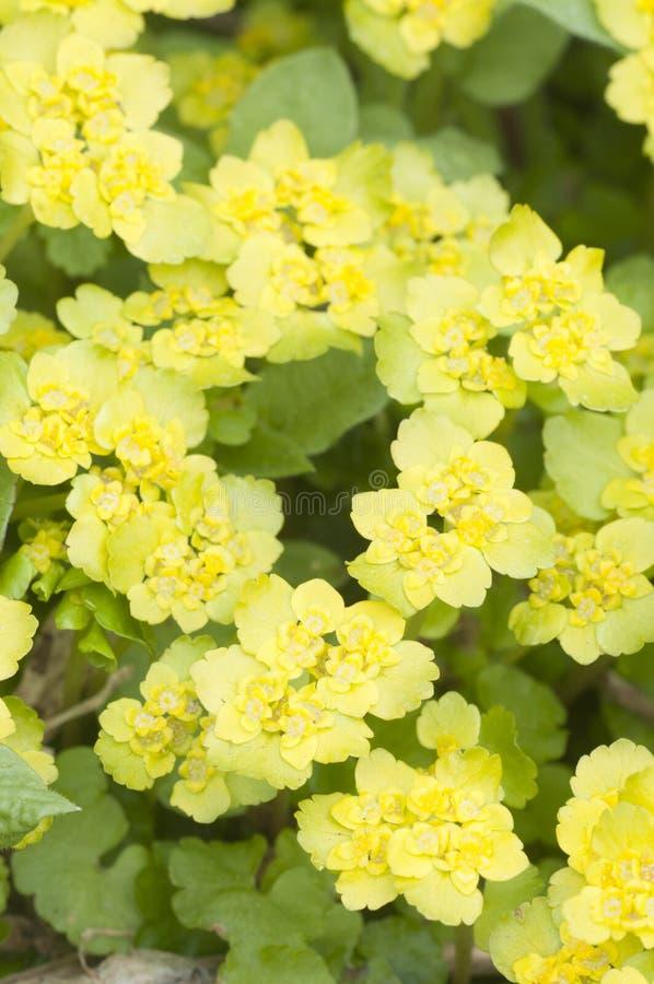 Flores douradas do alternifolium do Chrysosplenium da saxífraga imagem de stock royalty free
