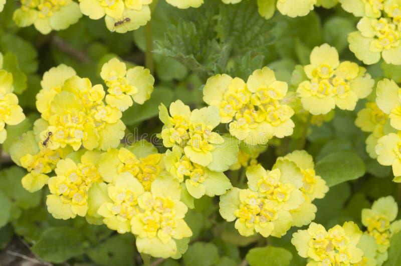 Flores douradas do alternifolium do Chrysosplenium da saxífraga fotos de stock