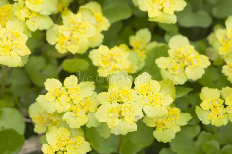 Flores douradas do alternifolium do Chrysosplenium da saxífraga foto de stock royalty free
