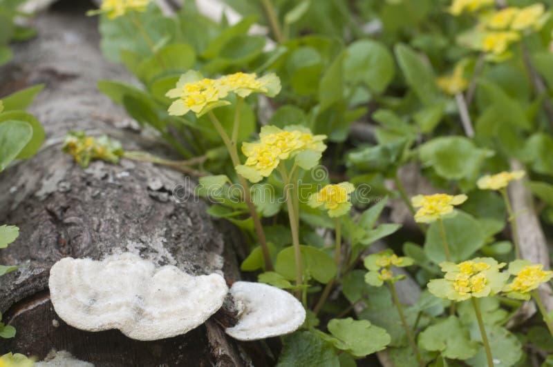 Flores douradas do alternifolium do Chrysosplenium da saxífraga imagens de stock