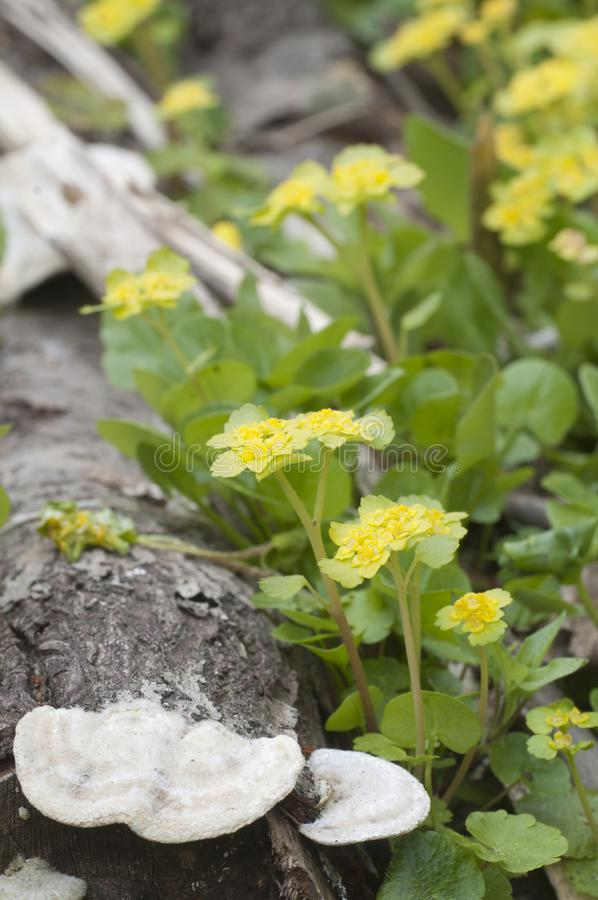 Flores douradas do alternifolium do Chrysosplenium da saxífraga fotografia de stock royalty free