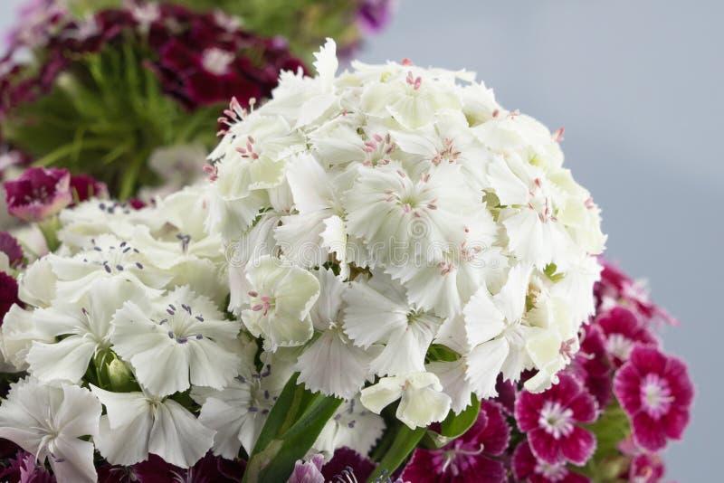 Flores dulces blancas de Guillermo imagenes de archivo