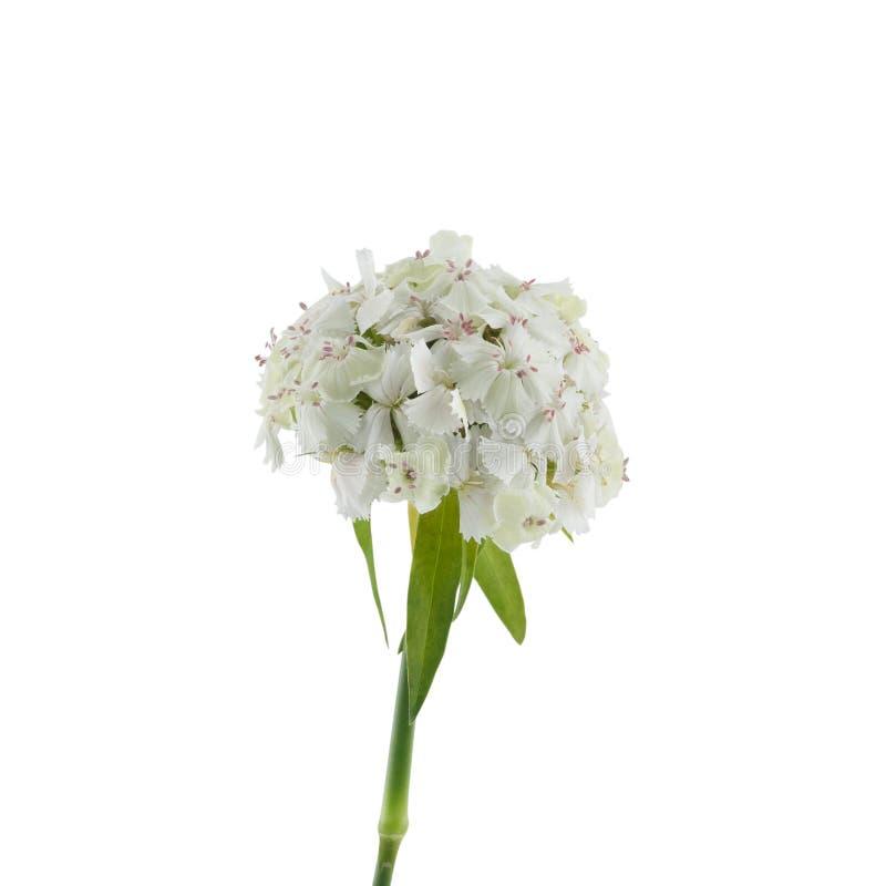 Flores dulces blancas de Guillermo foto de archivo libre de regalías