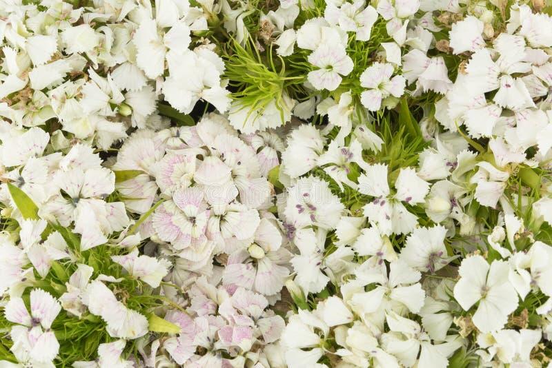 Flores dulces blancas de Guillermo fotos de archivo libres de regalías