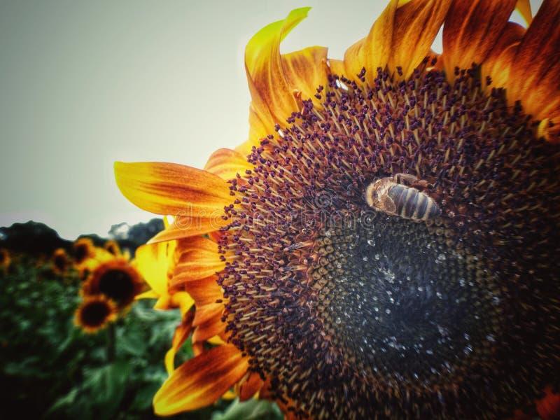 Flores dulces de Sun con la abeja fotos de archivo libres de regalías