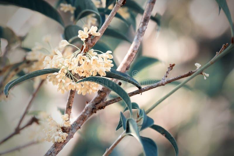 Flores dulces del osmanthus imagen de archivo libre de regalías