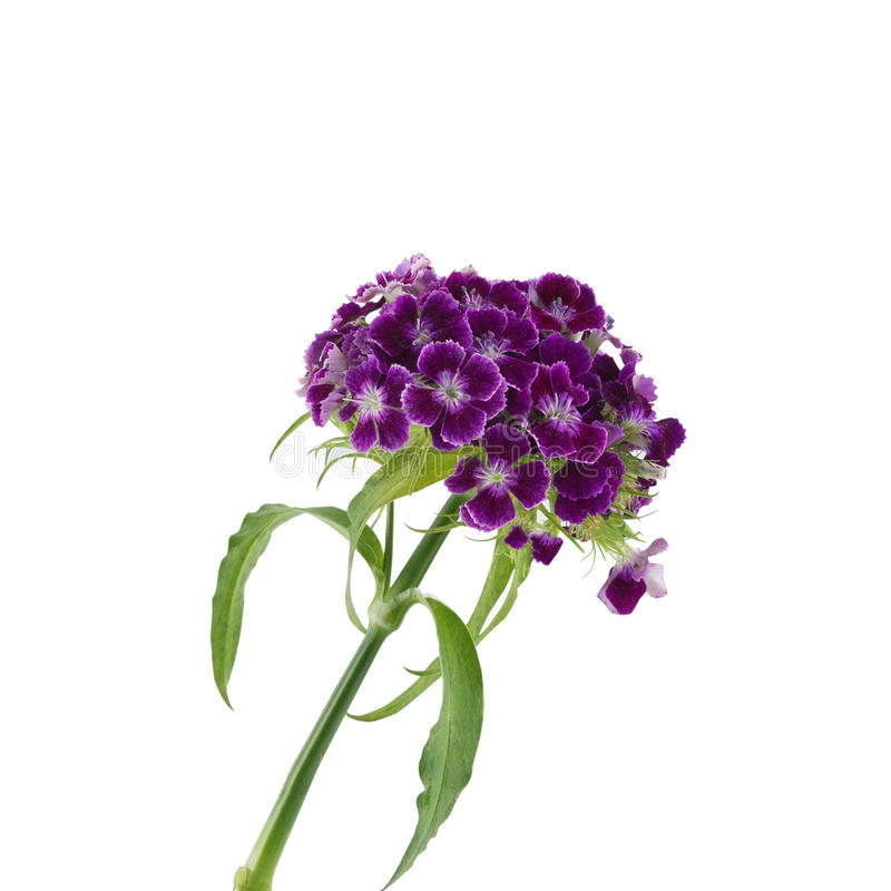 Flores dulces púrpuras de Guillermo fotografía de archivo libre de regalías