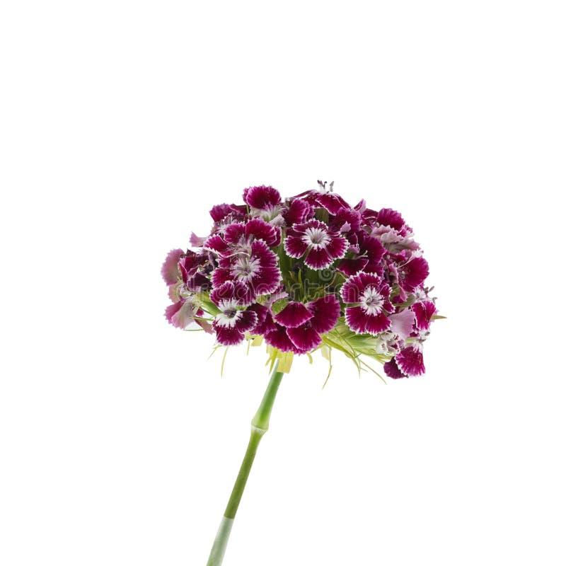 Flores dulces rojo oscuro de Guillermo fotografía de archivo libre de regalías